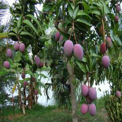 alphanso mango plant