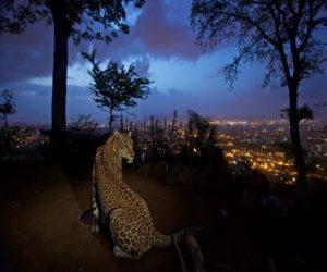 leopard mumbai