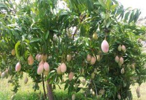 totapuri mango plant 500x500